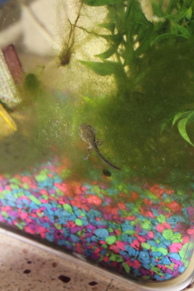 Tadpole Turning Frog