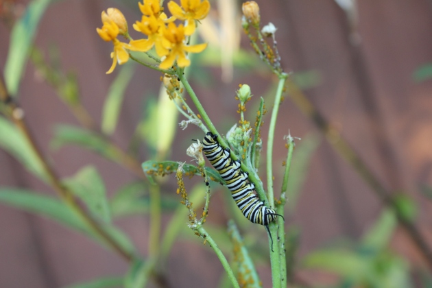 Our first monarch caterpillar on the milkweed in our backyard!